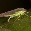 Ecuador 2012: Otavalo - Unidentified leafhopper (Cicadellidae: probably Gyponinae) at Laguna Cuicocha
