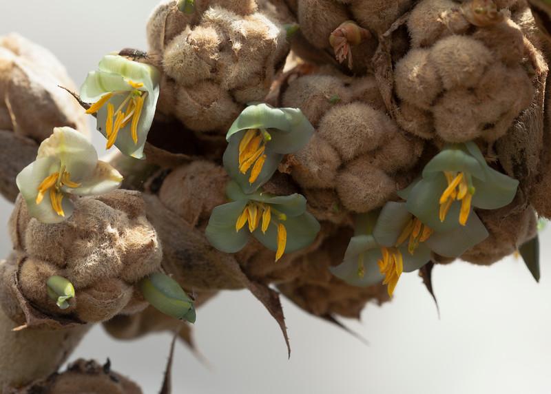 Ecuador 2012: Otavalo - Puya flowers (Bromeliaceae: Puya sp.) at Laguna Cuicocha
