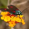 Ecuador 2012: Otavalo - Wasp Moth (Erebidae: Arctiinae: Arctiini: Ctenuchina Cyanopepla micans