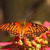 Ecuador 2012: Quito - Andean Silverspot  (Nymphalidae: Heliconiinae: Heliconiini: Dione glycera)