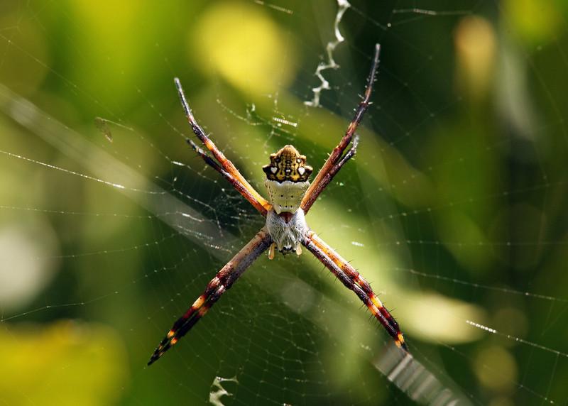 Ecuador 2012: Quito - Silver Argiope (Araneidae: Argiope argentata)
