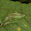 Ecuador 2012: Sacha Lodge - Unidentified Katydid (Tettigoniidae)