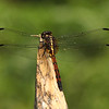 Ecuador 2012: Sacha Lodge - Tropical King Skimmer (Libellulidae: Orthemis sp., poss. O. anthracina)