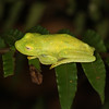 Ecuador 2012: Sacha Lodge - Rough-skinned Tree Frog (Hylidae: Hylinae:  Hypsiboas cinerascens)