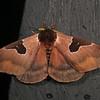 Ecuador 2012: Sacha Lodge - Saturniid moth (Saturniidae: Hemileucinae: probably Dirphia fraterna)
