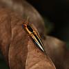 Ecuador 2012: Sacha Lodge - Click Beetle (Elateridae: Semiotinae: Semiotus bilineatus)