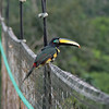Ecuador 2012: Sacha Lodge - Many-banded Aracari (Pteroglossus pluricinctus) on the Canopy Walk