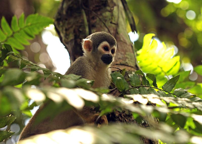 Ecuador 2012: Sacha Lodge - Squirrel monkey (Saimiri sciureus)