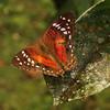 Ecuador 2012: Sacha Lodge - Scarlet Peacock (Nymphalydae: Nymphalinae: Victorinini: Anartia amathea amathea); female