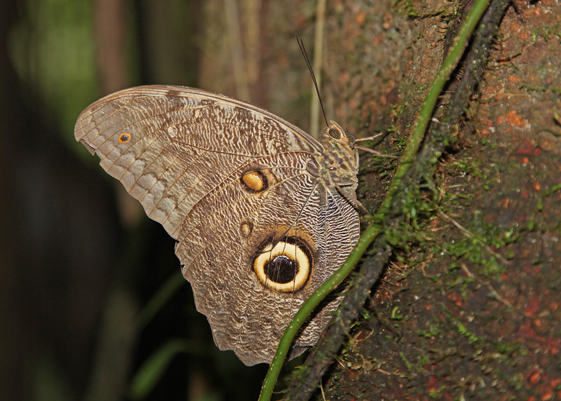 Ecuador 2012: Sacha Lodge - Owl Butterfly (Nymphalidae: Satyrinae: Brassolini: probably Caligo idomeneus)