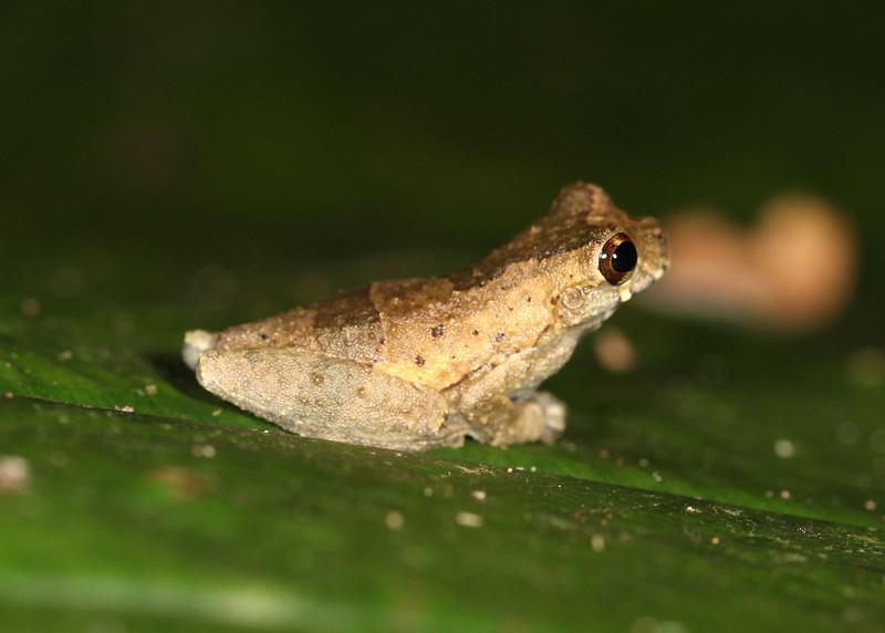 Ecuador 2012: Sacha Lodge - Probably a Short-headed Tree Frog (Hylidae: Hylinae: Dendropsophus parviceps)