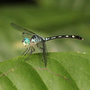Ecuador 2012: Sacha Lodge - Blue-eyed Dasher (Libellulidae: Micrathyria sp.)