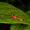 Ecuador 2012: Sacha Lodge - Assassin Bug (Reduviidae: Harpactorinae: Ricolla sp.)