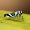 Ecuador 2012: Sacha Lodge - Sharpshooter (Cicadellidae: Cicadellinae: Cicadellini: Macugonalia moesta)