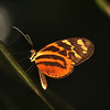 Ecuador 2012: Sacha Lodge - Tigerwing (Nymphalidae: Danaeinae: Ithomiini: Melinaea satevis)