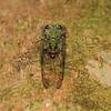 Ecuador 2012: Sacha Lodge - Cicada (Cicadidae)