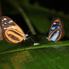 Ecuador 2012: Sacha Lodge - (left) Anchiala Tigerwing (Nymphalidae: Danainae: Ithomiini: Hyposcada anchiala ecuadorina) and (right) Assimilis Clearwing (Nymphalidae: Danainae: Ithomiini: Oleria assimilis)