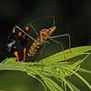 Ecuador 2012: Sacha Lodge - Banner or Leaf-footed Bug (Coreidae: Coreinae: Anisoscelini: Diactor bilineatus)