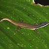 Ecuador 2012: Sacha Lodge - White-striped Eyed Lizard (Gymnophthalmidae: Cercosaura [Prionodactylus] oshaughnessyi; possibly Cercosaura [Prionodactylus] argulus))