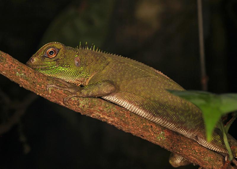 Ecuador 2012: Sacha Lodge - Guichenot's Dwarf Iguana, also known as the Amazon Wood Lizard (Hoplocercidae: Enyalioides laticeps)