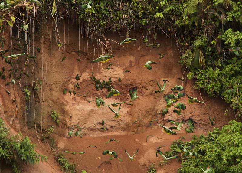 Ecuador 2012: Sacha Lodge -  Parrot lick on the Rio Napo