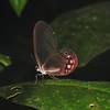 Ecuador 2012: Sacha Lodge - Glasswing (Nymphalidae: Satyrinae: probably Cithaerias pireta aurora)
