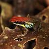 Ecuador 2012: Sacha Lodge - Ecuador Poison Frog (Dendrobatidae: Colostethinae: Ameerega bilinguis)