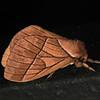 Ecuador 2012: Sacha Lodge - Saturniid Moth (Saturniidae: Hemileucinae: probably Pseudodirphia agis)