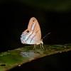 Ecuador 2012: Sacha Lodge - Blue-smudged Satyr (Nymphalidae: Satyrinae: Satyrini: Chloreuptychia arnaca)