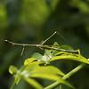 Ecuador 2012: Sacha Lodge - Jumping Stick a.k.a. Stick Grasshopper (Proscopiidae; Proscopiinae: Proscopiini: Paraproscopia riedei: male) It looks like a stick insect but it's actually a variety of grasshopper