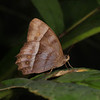 Ecuador 2012: Sacha Lodge - Puritana Satyr (Nymphalidae: Satyrinae: Satyrini: Taygetomorpha puritana)