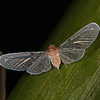 Ecuador 2012: Sacha Lodge - Derbid Planthopper (Derbidae)