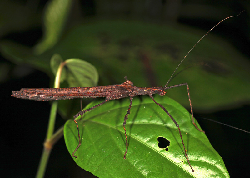 Ecuador 2012: Sacha Lodge - Flying Stick Insect (Pseudophasmatidae: Pseudophasmatinae: probably Pseudophasma sp.)
