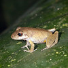 Ecuador 2012: Sacha Lodge - Possibly a Variable Robber Frog (Craugastoridae: Pristimantinae: Pristimantis variabilis)