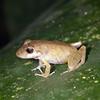 Ecuador 2012: Sacha Lodge - Possibly a Variable Robber Frog (Craugastoridae: Pristimantinae: Pristimantis variabilis)