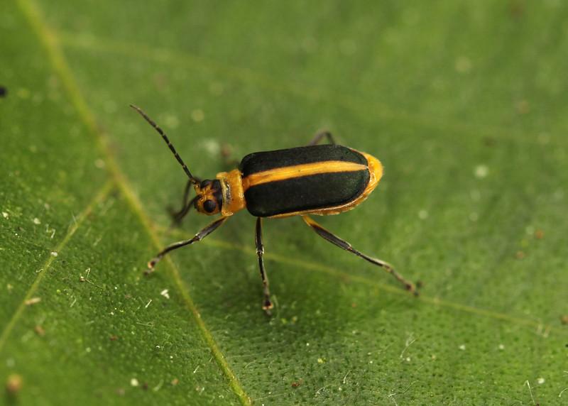 Ecuador 2012: Sacha Lodge - Leaf Beetle (Chrysomelidae: Galerucinae: Galerucini: probably Dircema sp. possibly D. marginatum)