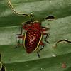 Ecuador 2012: Sacha Lodge - Pleasing Fungus Beetle (Erotylidae: Erotylinae: Erotylina sp.; prob. Erotylina maculiverntris)