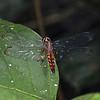 Ecuador 2012: Sacha Lodge - Tropical Dragonlet (Libellulidae: Sympetrinae: Erythrodiplax sp.; probably E. fervida; female)