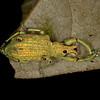 Ecuador 2012: Sacha Lodge - Broad-nosed Weevil (Curculionidae: Entiminae; possibly Compsus sp.)