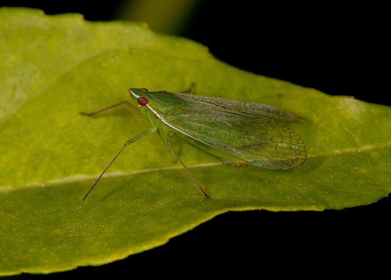 Ecuador 2012: Sacha Lodge - Dictyopharid Planthopper (Dictyopharidae: probably Nersia sp.)