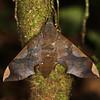 Ecuador 2012: Sacha Lodge - Sphinx Moth (Sphingidae: Macroglossinae: Pachylia syces)
