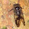 Ecuador 2012: Sacha Lodge - Unidentified cicada (Cicadidae)