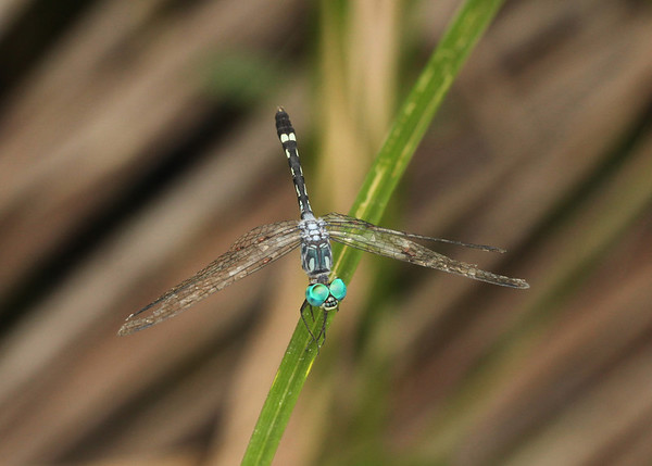 Ecuador 2012: Sacha Lodge - Tropical Dasher (Libellulidae: Micrathyria sp.; probably M. tibialis)
