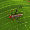 Ecuador 2012: Sacha Lodge - Broad-headed Bug (Adylididae: Adylinae: Hyalymenus sp.)