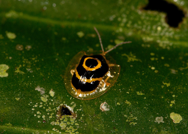 Ecuador 2012: Sacha Lodge - Golden Tortoise Beetle (Chrysomelidae: Cassidinae: Ischnocodia annulus)