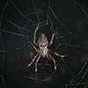 Ecuador 2012: Sacha Lodge - Orb Weaver (Araneidae: Araneinae: possibly Eriophora edax)