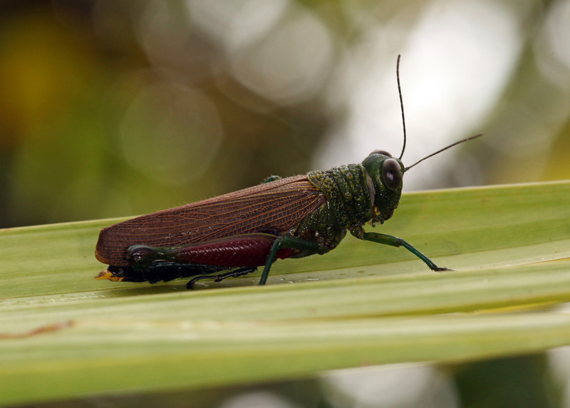 Ecuador 2012: Sacha Lodge - Grasshopper (Acrididae: probably Proctolabinae; possibly Coscineuta sp.[C. haematonota])