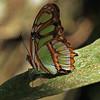 Ecuador 2012: Sacha Lodge - Malachite (Nymphalidae: Nymphalinae: Kallimini: Siproeta stelenes)