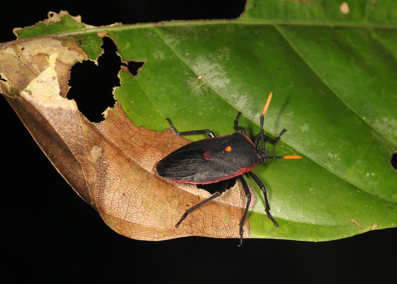 Ecuador 2012: Sacha Lodge - Dinidorid Bug (Dinidoridae: Dinidorinae: Dinidorini: Dinidor rufocinctus)