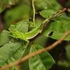 Ecuador 2012: Sacha Lodge - Guichenot's Dwarf Iguana, also known as the Amazon Wood Lizard (Hoplocercidae: Enyalioides laticeps), probably a juvenile